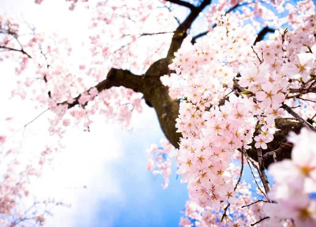 Sotto un albero di ciliegio
